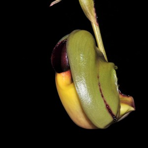 Coryanthes verrucolineata