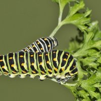 Papilio machaon emisphyrus