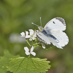 Anthocharis cardamines (Aurorafalter)