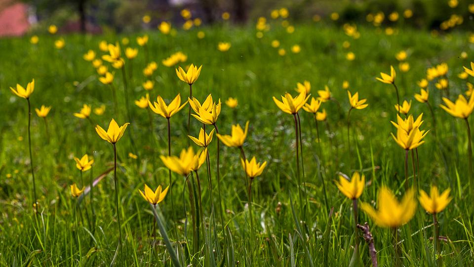 Tulpe_2.jpg